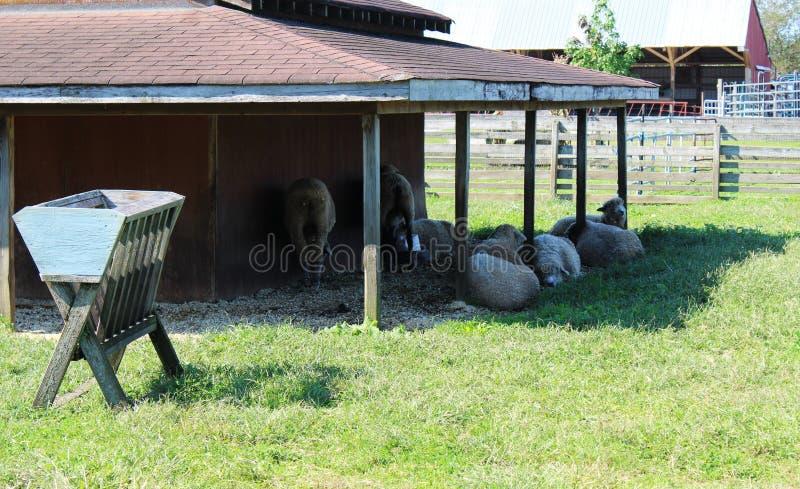 Groupe de moutons en dehors d'une grange photos libres de droits
