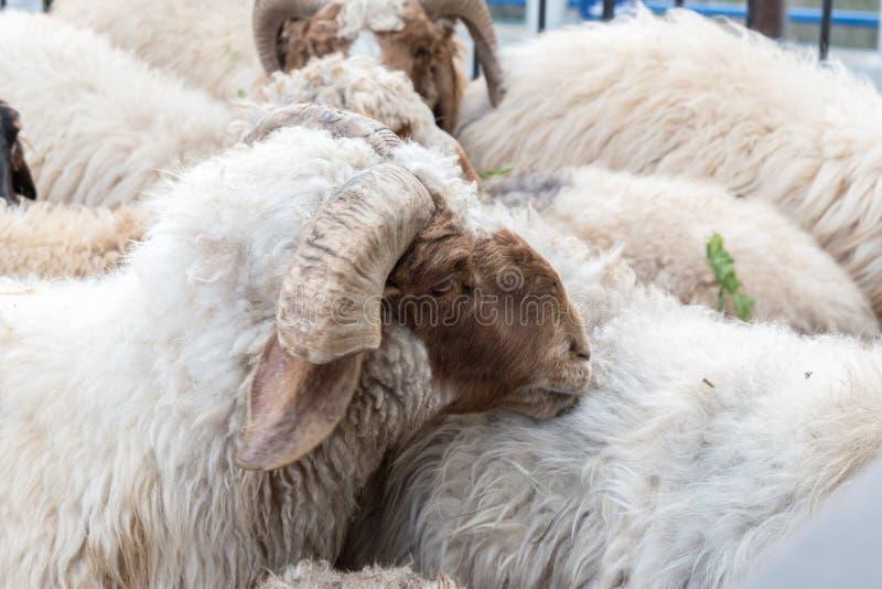Groupe de moutons tout en mangeant images stock