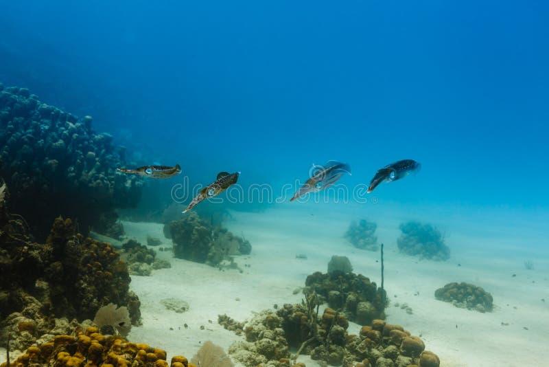 Groupe de natation des Caraïbes de sepioidea de Sepioteuthis de calmar de récif sur le récif coralien photographie stock libre de droits
