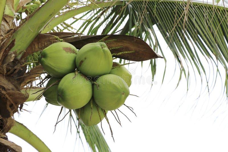 Groupe de noix de coco sur l'arbre de noix de coco photos stock
