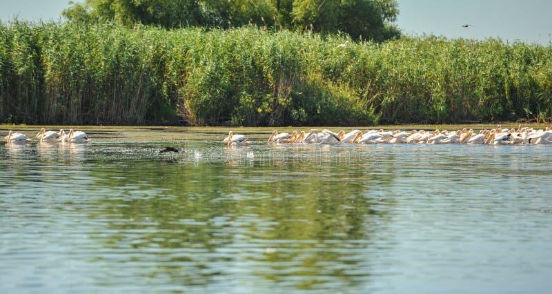 Groupe de pélicans effectuant le vol Troupeau sauvage de grands pélicans communs prenant la colonie de pélican d'onocrotalus de P photo libre de droits