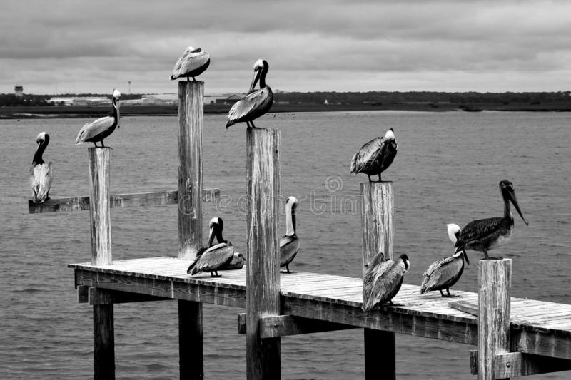 Groupe de pélicans reposant le fond d'empilages de dock photo stock