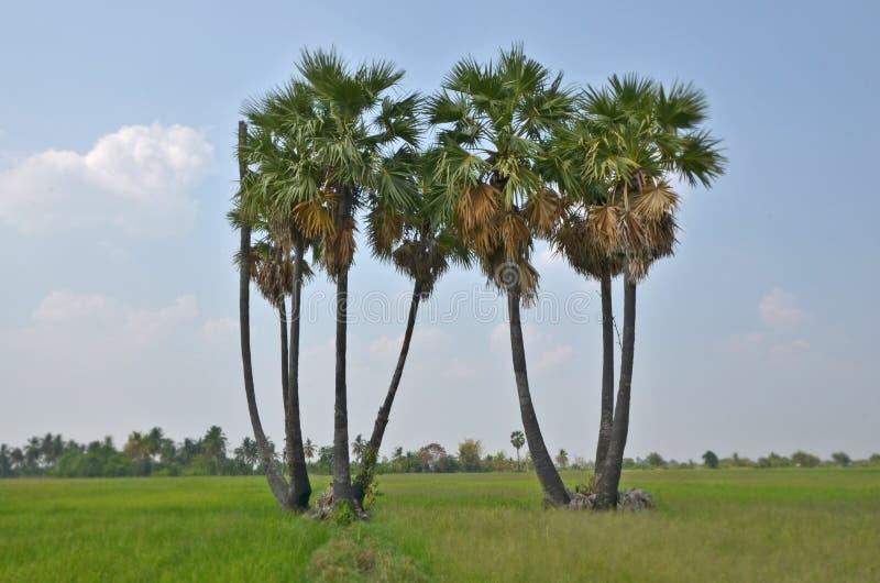 Groupe de palmiers de sucre dans le domaine image libre de droits