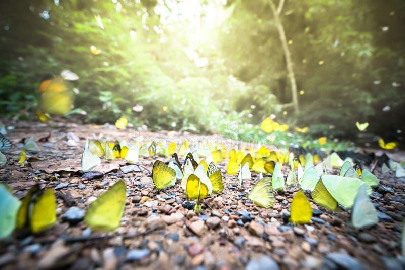 Groupe de papillons colorés sur la terre et le vol autour dans la forêt, de lumière du soleil crépusculaire d'or, de tache floue  photo libre de droits