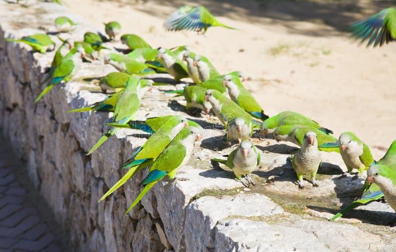 Groupe de Parakeets sauvages de moine photo libre de droits