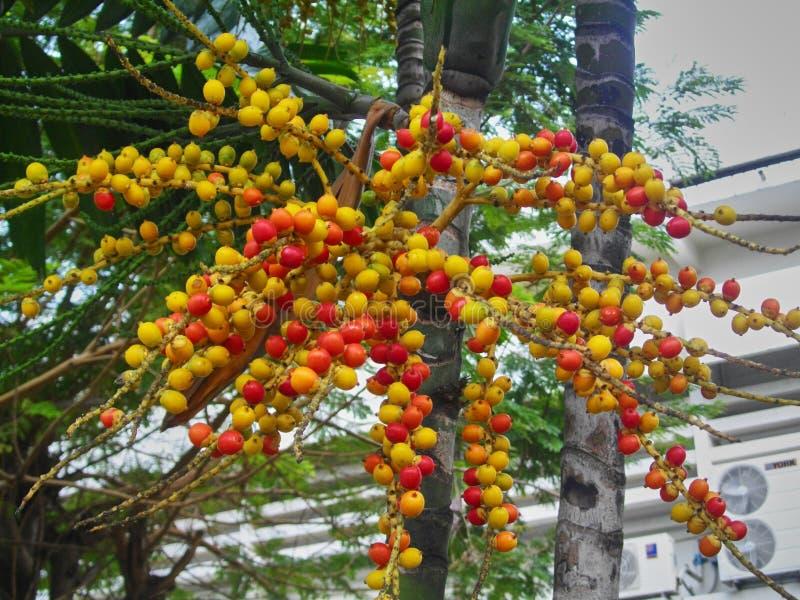 Groupe de paume tropicale rouge de noix de bétel ou d'arec photographie stock