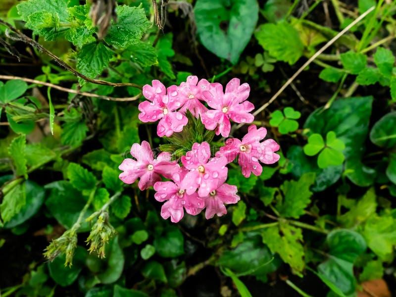 Groupe de petites fleurs de lantana images stock
