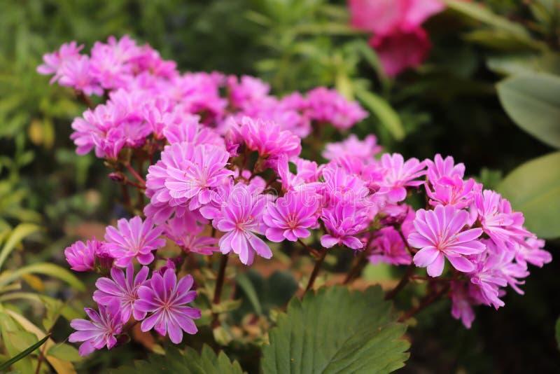 Groupe de petites fleurs pourpres photos libres de droits