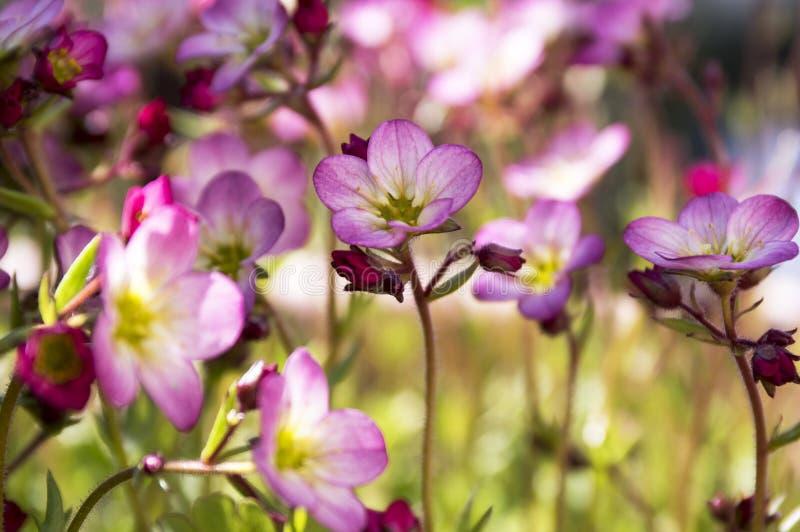 Groupe de petits bryoides roses de Saxifraga photos stock