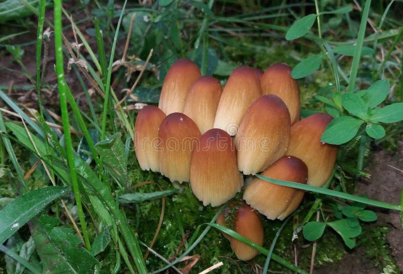 Groupe de petits champignons bruns connus sous le nom de chapeau de mica, chapeau brillant, chapeau noir d'encre de scintillement images libres de droits