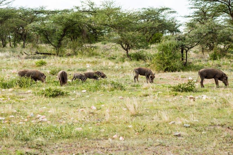 Groupe de phacochères paissent dans la savane du parc Samburu image stock