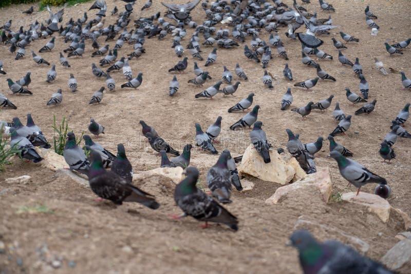 Groupe de pigeons aux nuances de la position grise et blanche et de la marche sur le rez-de-chaussée de sol avec le premier plan  photos libres de droits