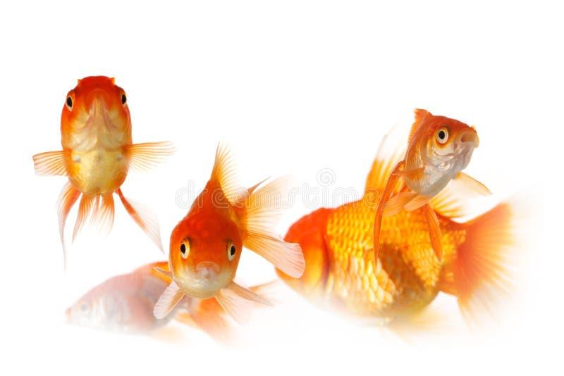 Groupe de poissons d'or photographie stock libre de droits