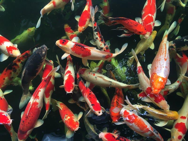 Groupe de poissons de fantaisie de carpe ou de poissons de koi nageant dans l'étang image libre de droits