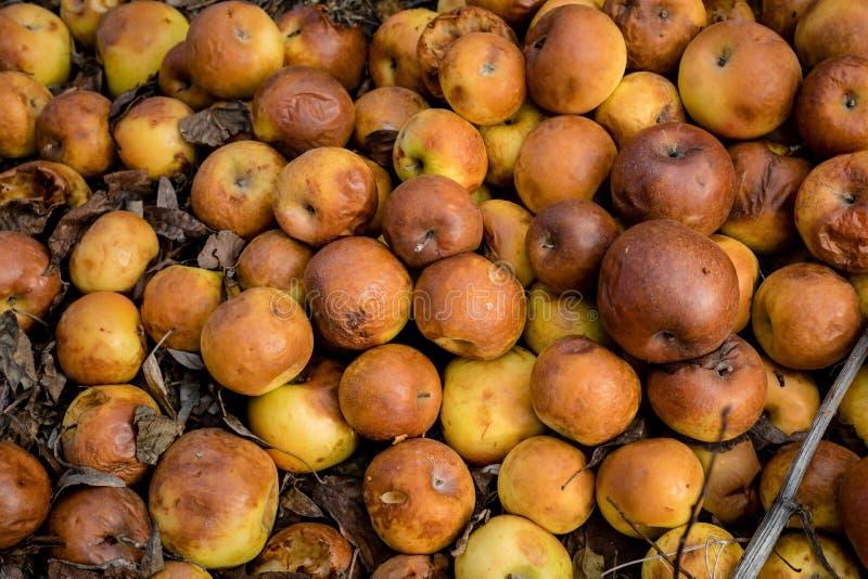 Groupe de pommes putréfiées au sol photos stock