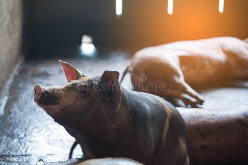 Groupe de porc dormant mangeant dans la ferme photographie stock