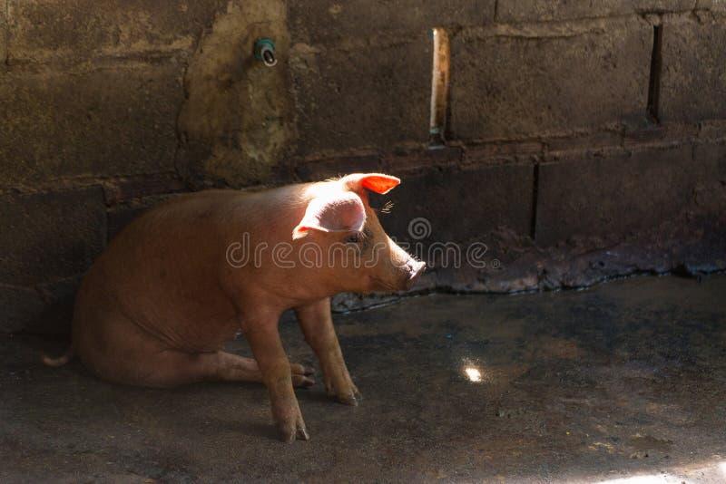 Groupe de porc dormant mangeant dans la ferme images libres de droits