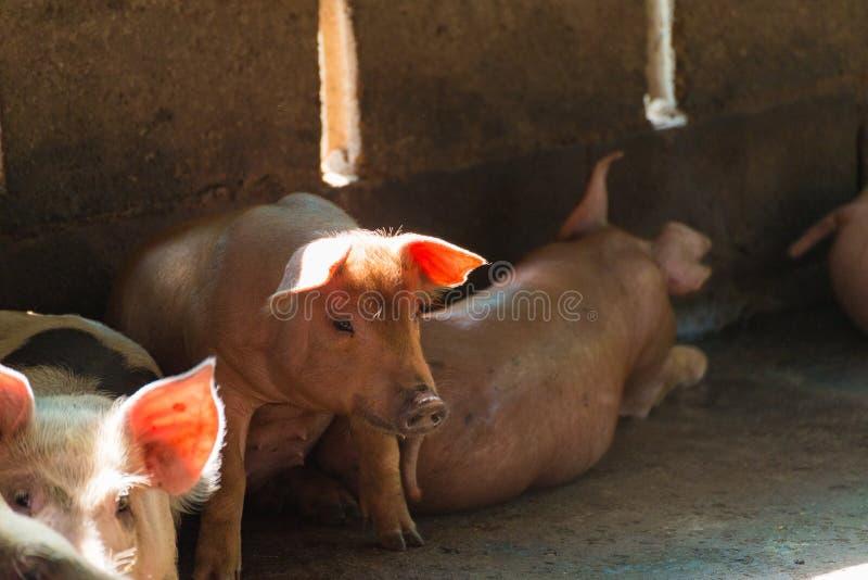 Groupe de porc dormant mangeant dans la ferme photos stock