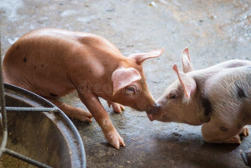 Groupe de porc dormant mangeant dans la ferme image stock