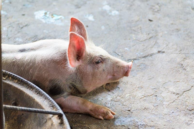 Groupe de porc dormant mangeant dans la ferme photo stock