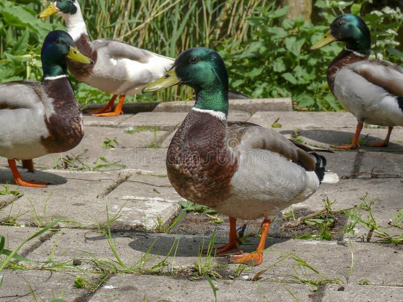 Groupe de position masculine de canards sauvages, traînant, un canard sauvage de canard dans l'avant image stock