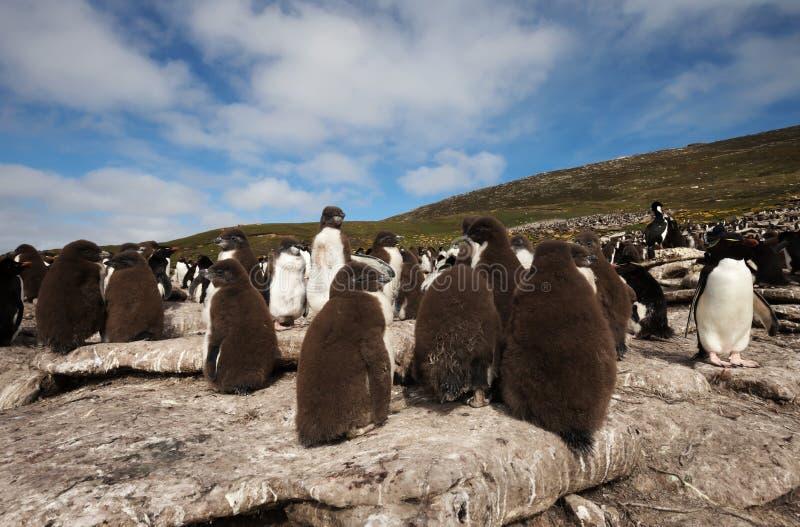 Groupe de poussins de pingouin de Rockhopper sur des roches dans la colonie de freux image libre de droits