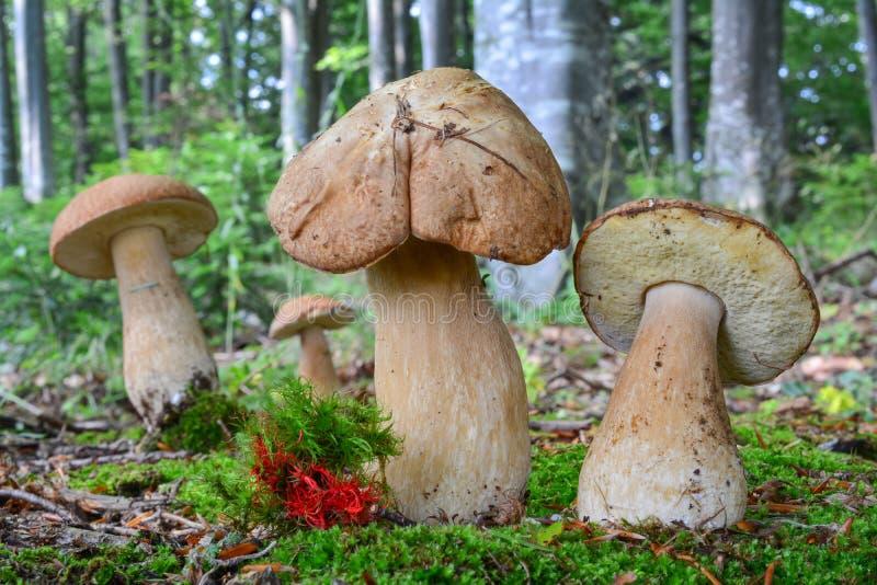 Groupe de quatre champignons de Penny Bun image libre de droits