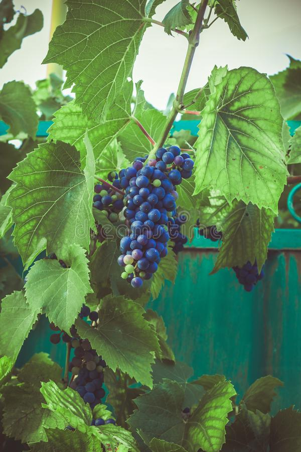 groupe de raisin dans le jardin image libre de droits