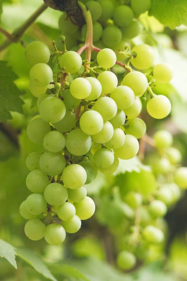 Groupe de raisins blancs photo libre de droits