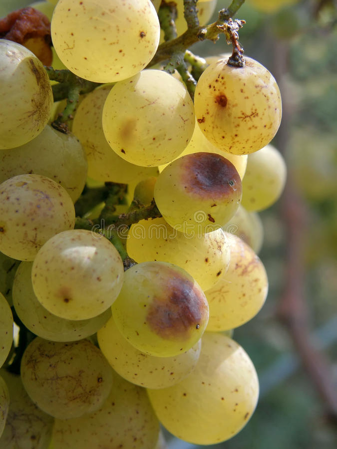 Groupe de raisins blancs (instruction-macro) photos stock