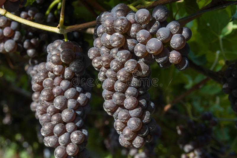 Groupe de raisins blancs prêts pour la récolte photographie stock