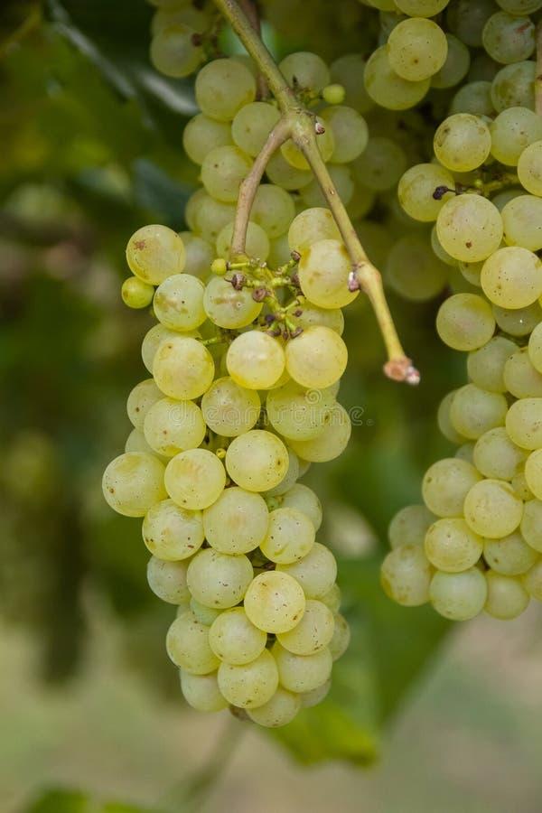 Groupe de raisins blancs prêts pour la récolte images stock