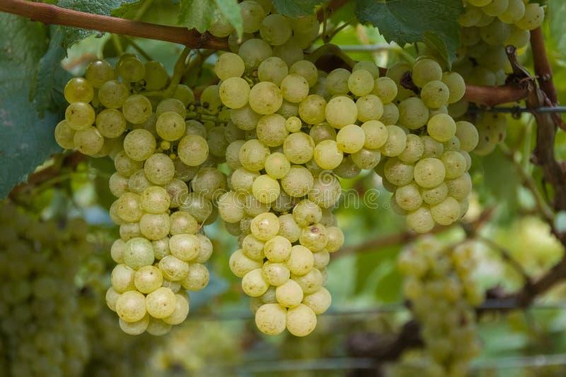Groupe de raisins blancs prêts pour la récolte image stock