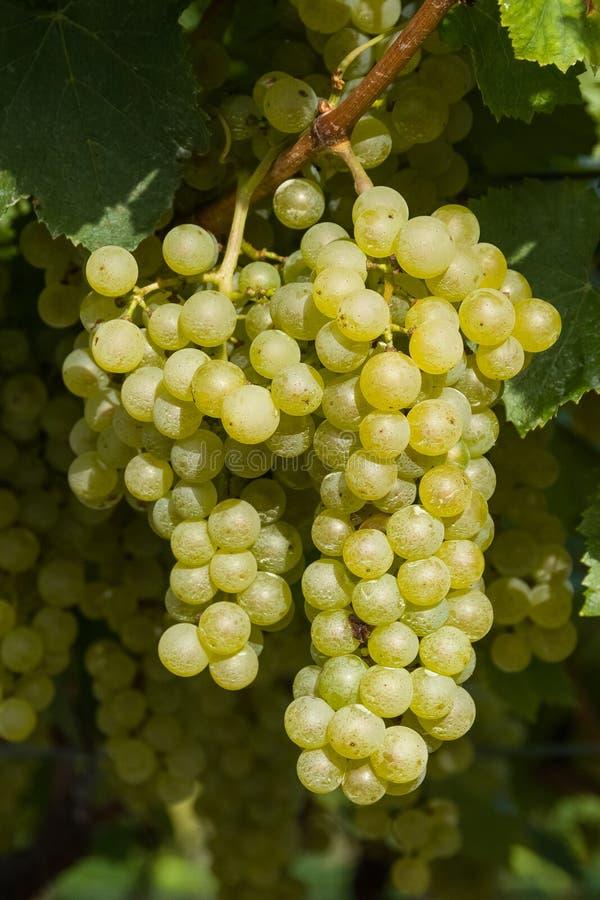 Groupe de raisins blancs prêts pour la récolte photographie stock libre de droits