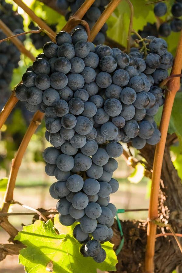 Groupe de raisins blancs prêts pour la récolte image libre de droits