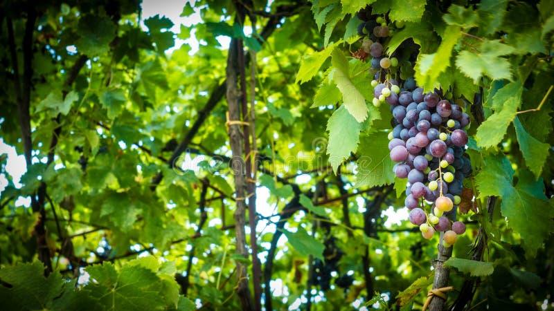 groupe de raisins dans des feuilles image stock