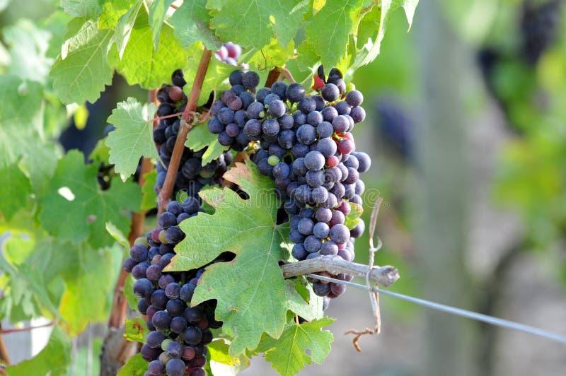Groupe de raisins dans un vignoble images stock