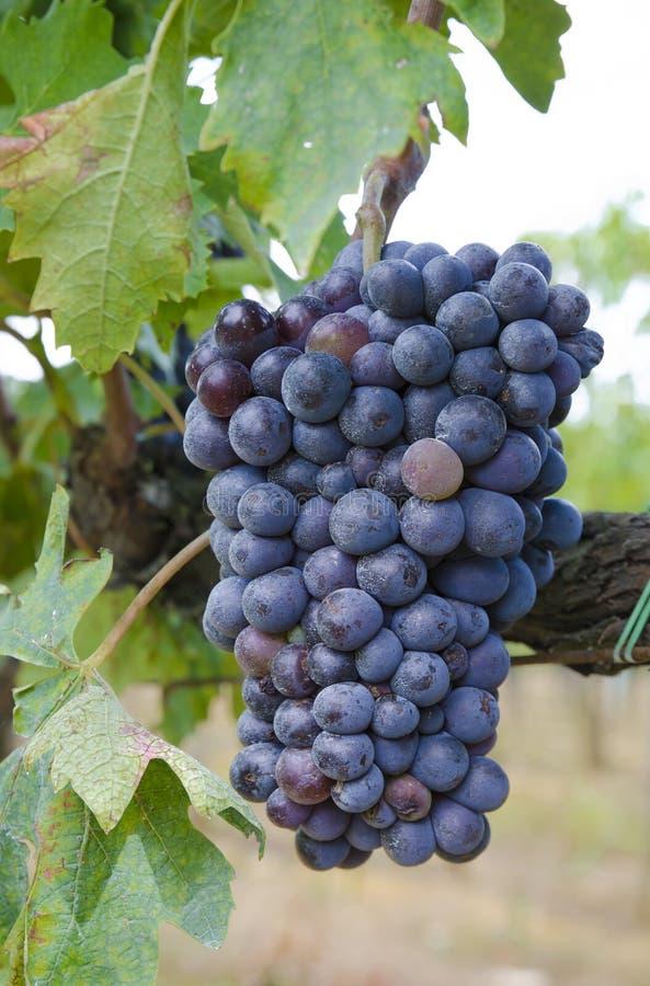 Groupe de raisins noirs images stock