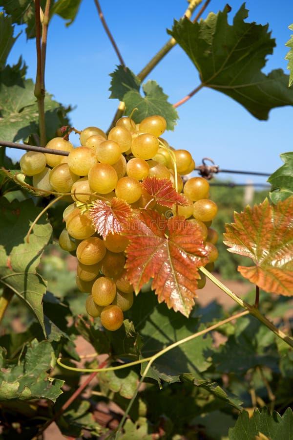 Groupe de raisins sur la vigne image stock