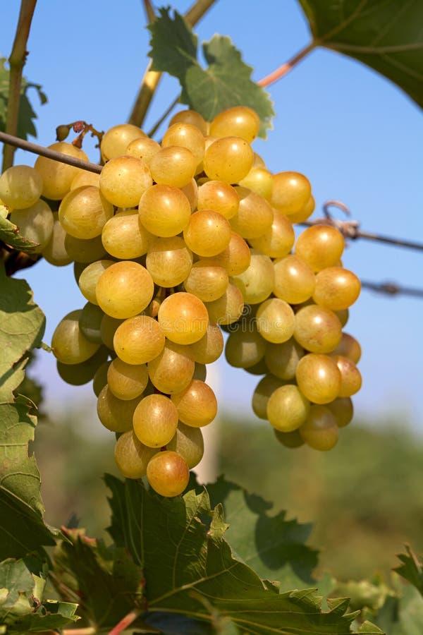 Groupe de raisins sur la vigne photographie stock libre de droits