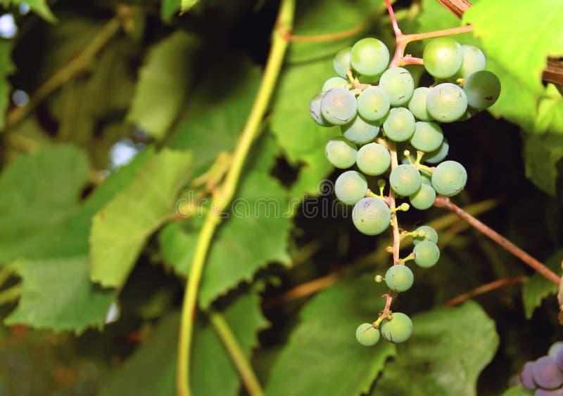 Groupe de raisins verts image stock