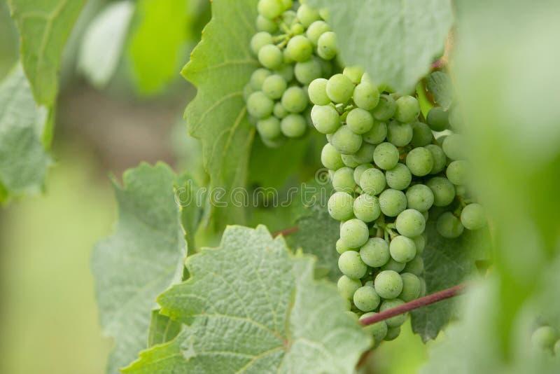 Groupe de raisins verts en gros plan image libre de droits