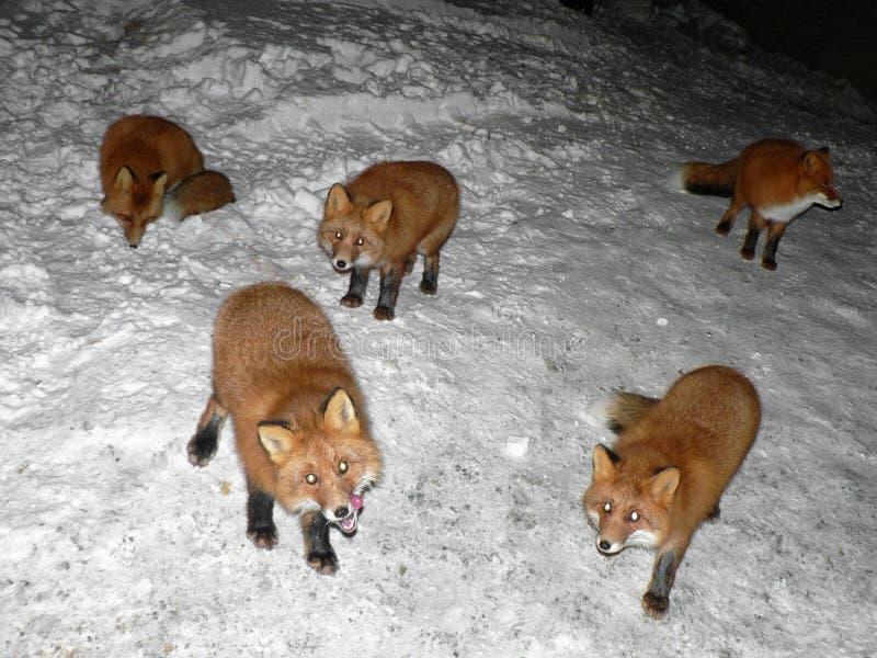Groupe de renards polaires affamés vaguant pendant la nuit à la recherche de la nourriture Renards polaires sauvages de alimentat photos stock