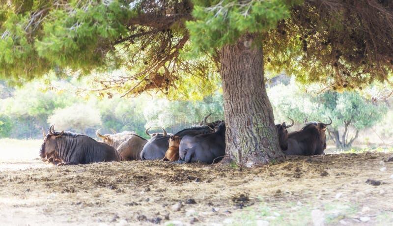 Groupe de repos de buffle dans Safari Park images stock
