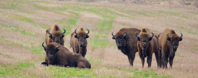 Groupe de repos eueopean de taureaux de bison image libre de droits