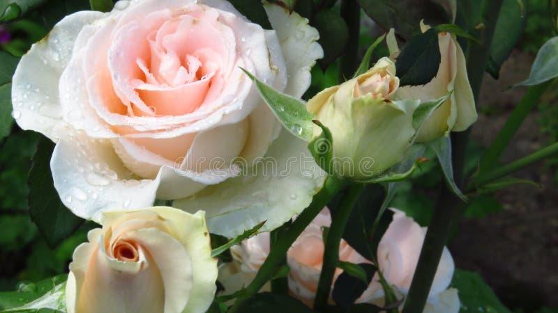 Groupe de Rose Buds ene ivoire, de feuilles de vert et de longues tiges image libre de droits