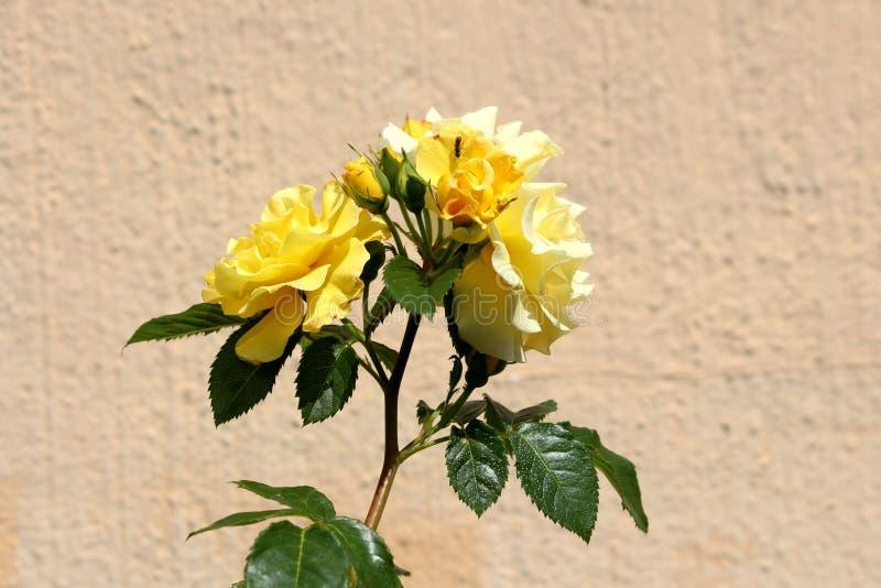 Groupe de roses jaunes lumineuses entièrement ouvertes et fermées s'élevant sur la tige simple entourée avec les feuilles vert-fo photo stock