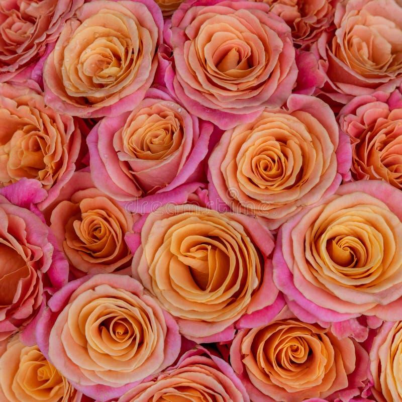 Groupe de roses oranges et roses fraîches et colorées pour le fond images libres de droits