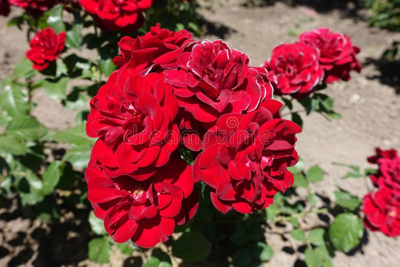 Groupe de roses rouges dans le jardin images libres de droits