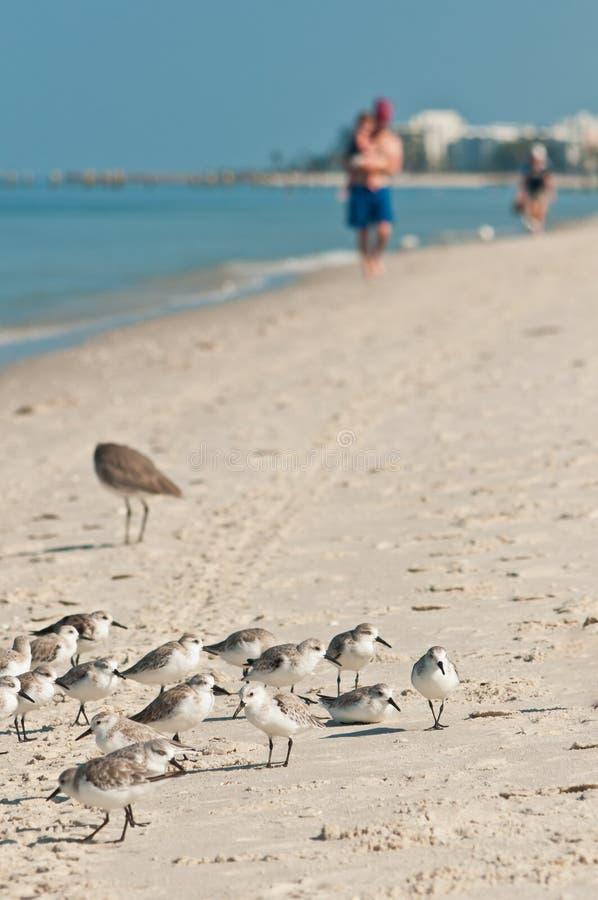 Groupe de Sanderling, oiseaux de mer se tenant sur la plage tropicale images libres de droits